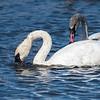 Adult Trumpeter Swan Feeding