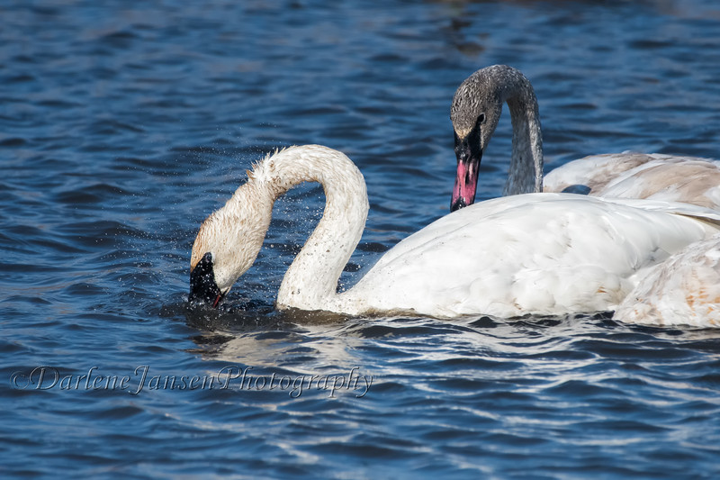 Adult Trumpeter Swan Feeding with Juvenile