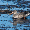 Northern Shoveler, female at Horicon Marsh