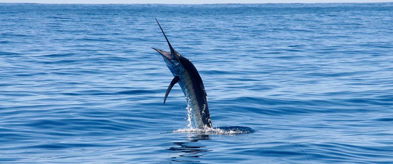 Ningaloo sailfish