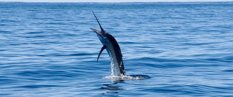 Ningaloo sailfish
