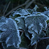 frozen ivy leaves