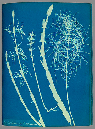 Cyanotype by Anna Atkins