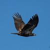 Bald Eagle Gone