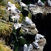 001 Bird Cliffs, Snæfellsnes, Iceland