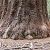 Giant sequoia (Sequoiadendron giganteum).   Mariposa Grove.  Yosemite National Park. Near Wawona, California.