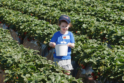 Strawberry-pickin-2014-021