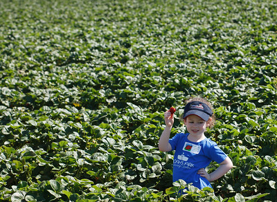 Strawberry-pickin-2014-060