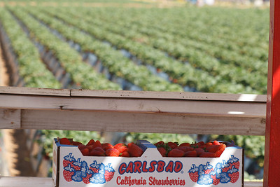 Strawberry-pickin-2014-010