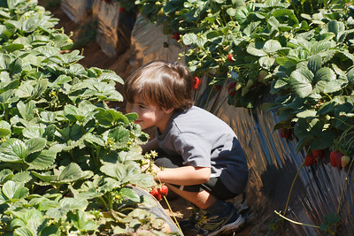 Strawberry-pickin-2014-031