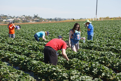 Strawberry-pickin-2014-046