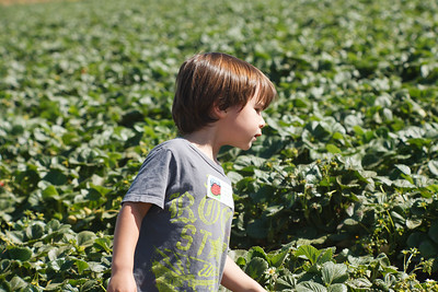 Strawberry-pickin-2014-036
