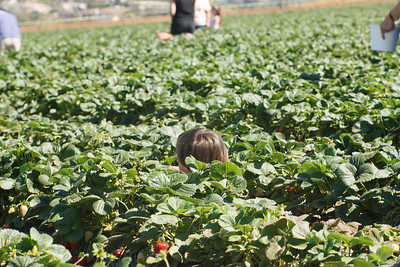 Strawberry-pickin-2014-032