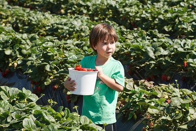 Strawberry-pickin-2014-039