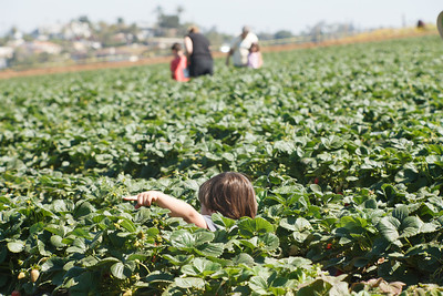 Strawberry-pickin-2014-034