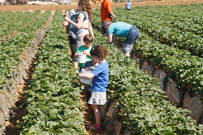 Strawberry-pickin-2014-027