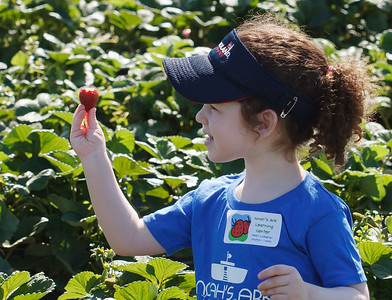 Strawberry-pickin-2014-056