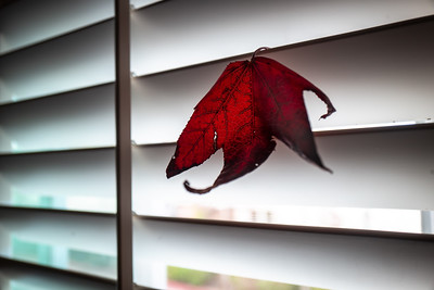 Splash of Color - Leaf on Shutters