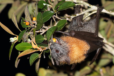 Grey-Headed Flying Fox (Pteropus poliocephalus) feeding on Port Jackson figs.