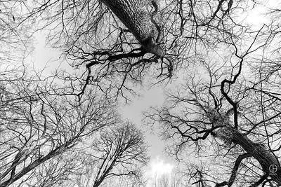 Danse des grands chênes