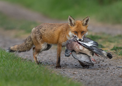 Fox with Wood pigeon