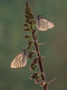 Black Veined White Butterflies1600