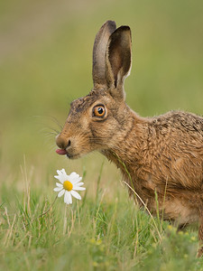 Brown hare and Ox-eye daisy