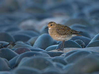 Golden plover amongst blue pebbles