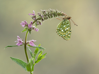 Dark Green Fritillary on Marsh Woundwort