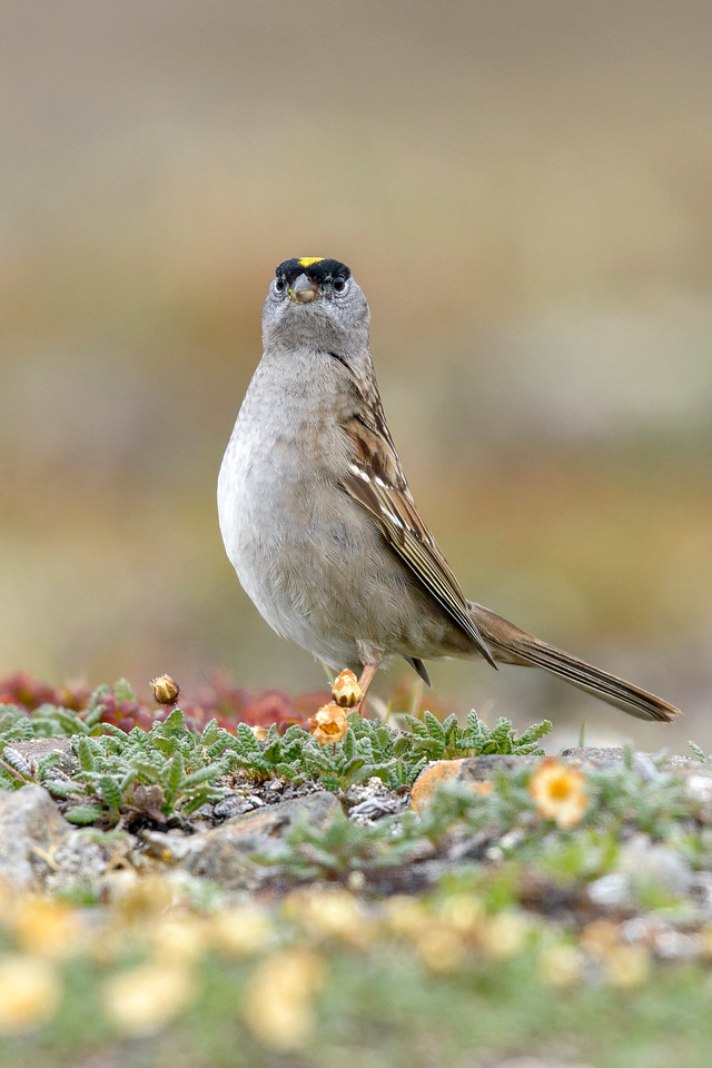 Golden-crowned Sparrow Nome, Alaska June 2015