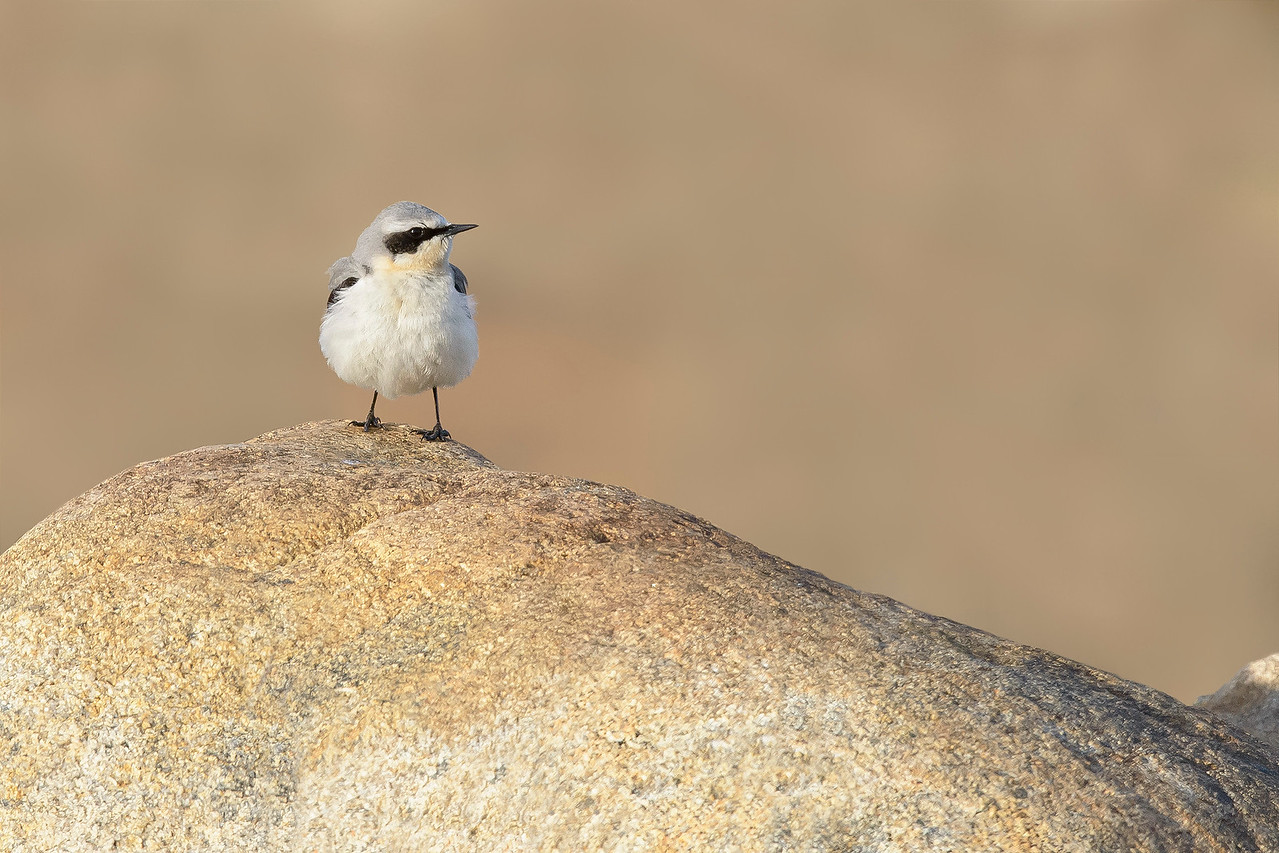 Wheatear Nome, Alaska June 2015