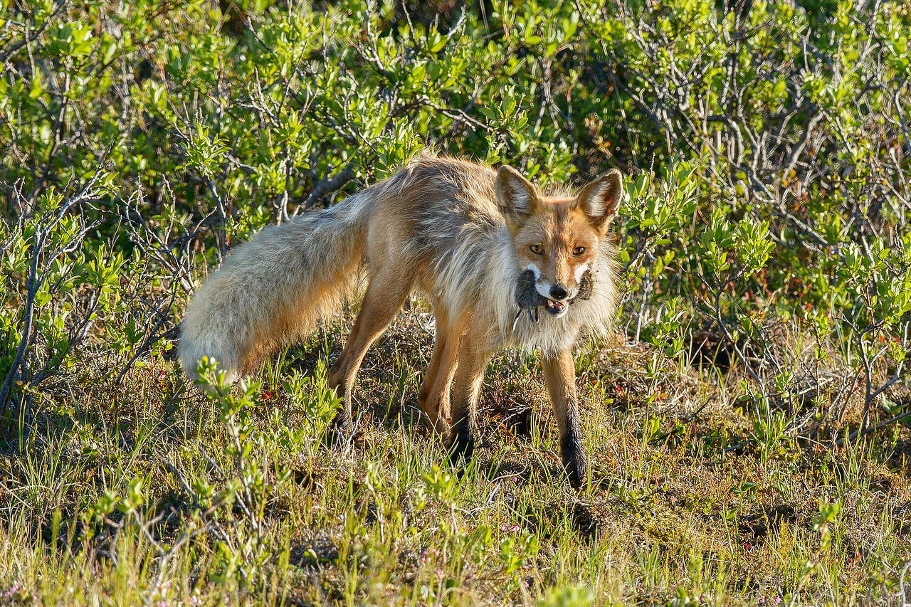Red Fox with Vole Nome, Alaska June 2015