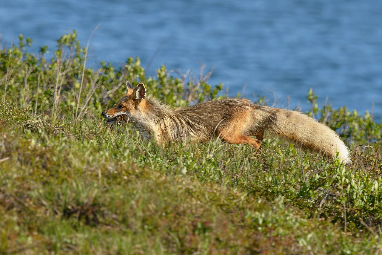 Red Rox with  2 Voles Nome, Alaska June 2015