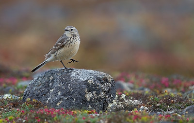 American Pipit in Tundra