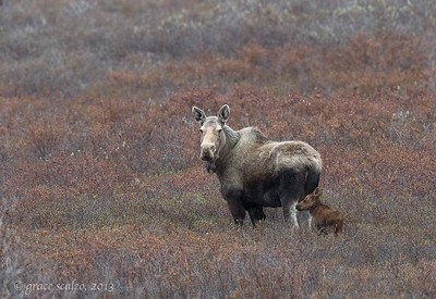Moose and Calf, Nome, Alaska