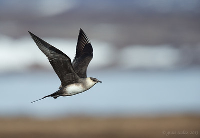 Long-tailed Jaeger in Flight