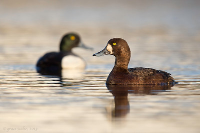 Scaup Pair, Nome, Alaska