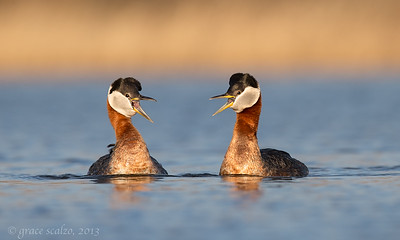 Red-necked Grebes Calling