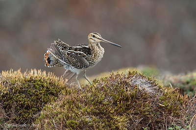 Wilson's Snipe on Tundra Mound