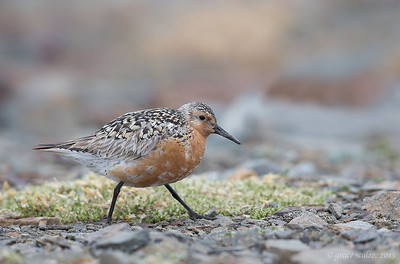 Red Knot on Tundra