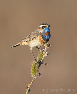 Siberian Bluethroat