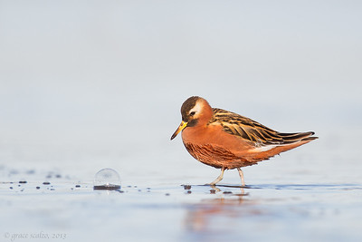 Red Phalarope and Bubble