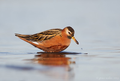 Red Phalarope with Morsel