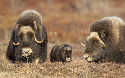 Musk Oxen and Calf