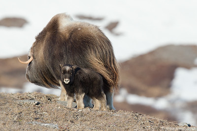 Sticking close to Mom (Musk ox calf and Mom)