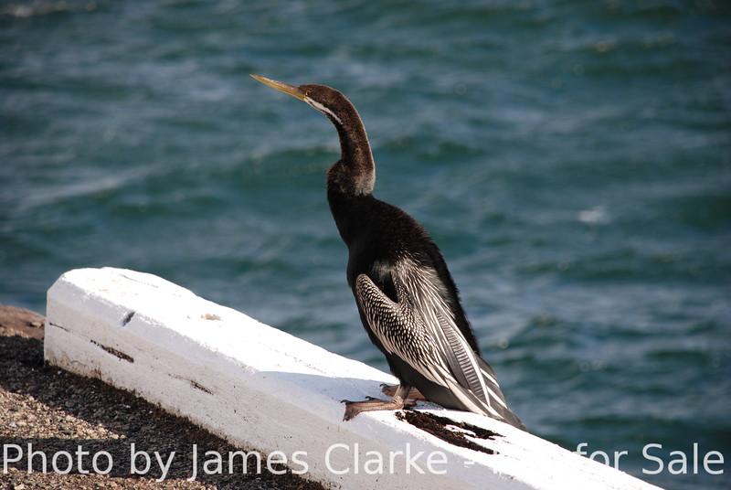 A Cormorant on the Wharf