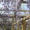 Wisteria and Framework.<br /> At Byodoin Temple, Uji city, Kyoto-fu, Japan.<br /> It is a condition of entry of Byodoin Temple that any photos taken there are not used for commercial purposes. The funny thing is: an image of this temple is on the 10 yen coin, and that's being used for commercial purposes every day.