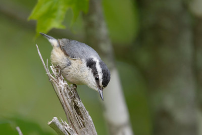 Red-breasted nuthatch Sitta canadensis