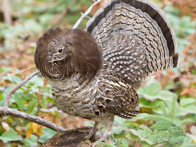 Ruffed grouse Bonasa umbellus