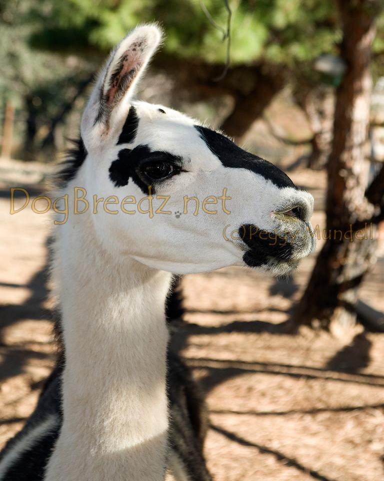 _MG_2352a-Llama